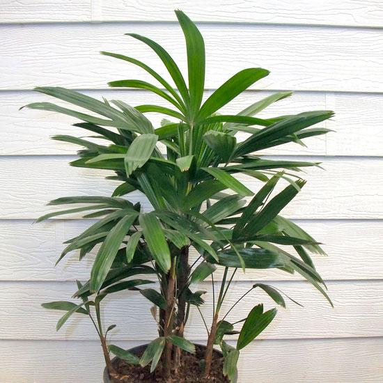 Rhaphis Palm - Office Plants Melbourne