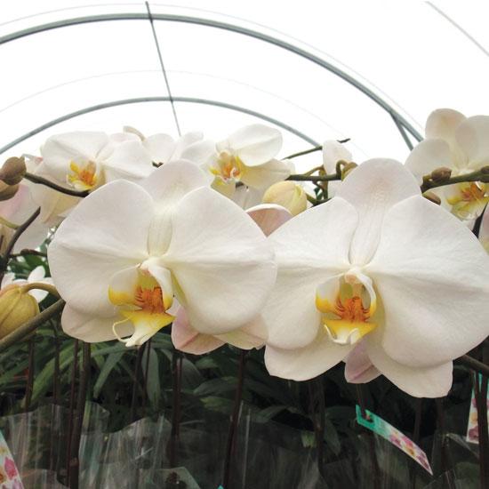 Phelanopsis Orchid - Office Plants Melbourne