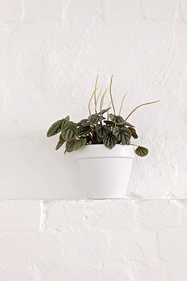 Peperomia Silver heart, indoor plant, plant hire Melbourne, plant wall plant, eco green office plants