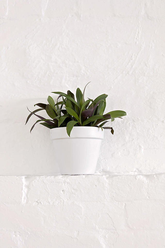 Rhoeo spathacea nana, Moses in the cradle, indoor plant, house plant, Melbourne, plant hire, eco green office plants