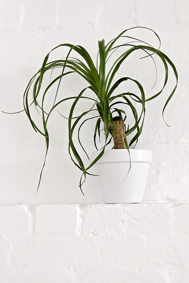 Ponytail palm, indoor plant, indoor plant hire Melbourne, office plants, eco green office plants