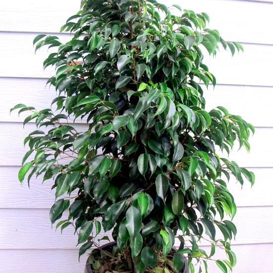 Ficus - Office Plants Melbourne