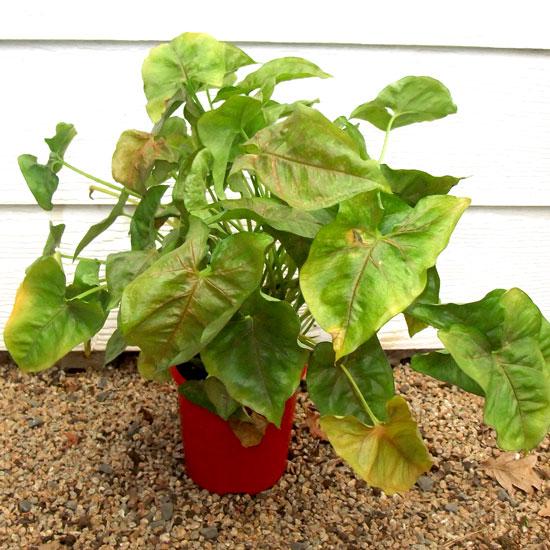 Syngonium - Office Plants Melbourne