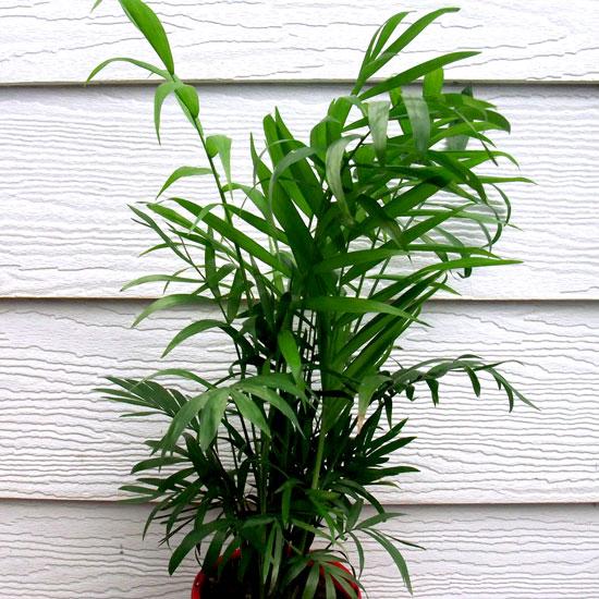 Cascade Palm - Office Plants Melbourne