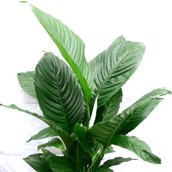 Spathaphyllum – Peace Lily - Office Plants Melbourne