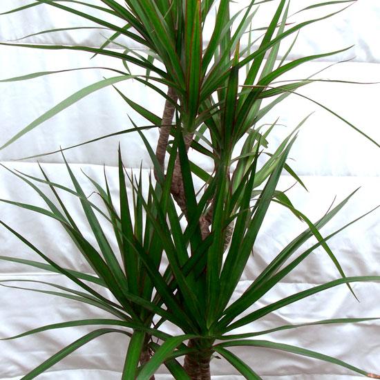 Dracaena Marginata - Office Plants Melbourne