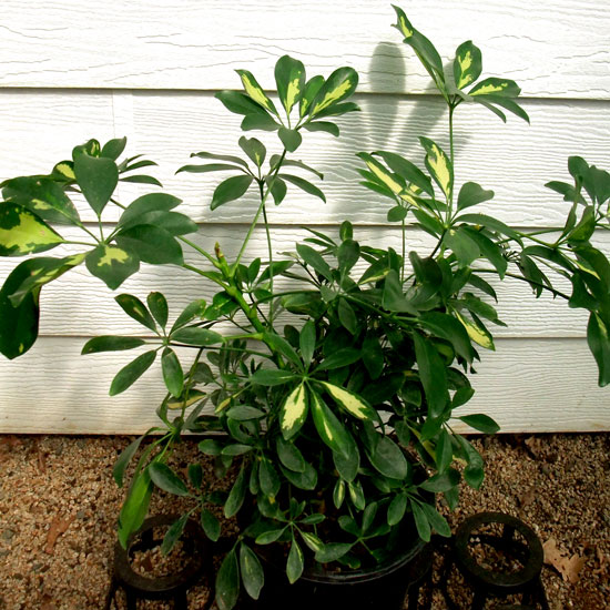 Variegated Dwarf Umbrella Tree - Office Plants Melbourne