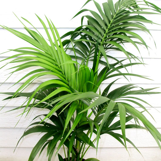 Kentia Palm - Office Plants Melbourne