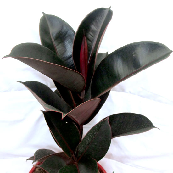 Ficus Elastica - Office Plants Melbourne