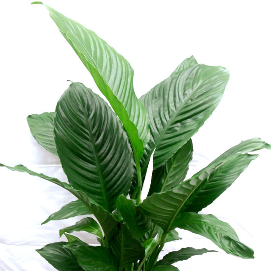Spathaphyllum – Peace Lily - Office Plants Melbourne