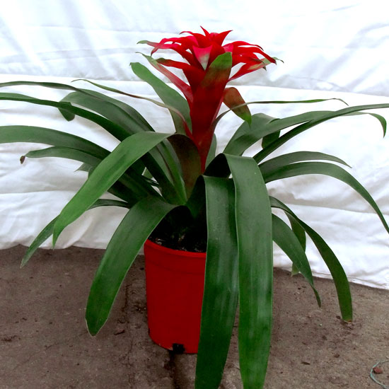 Bromeliad - Office Plants Melbourne