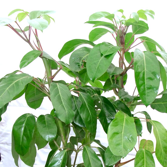 Umbrella Tree - Office Plants Melbourne