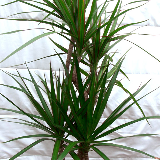Dracaena Marginata - Office Plants Melbourne