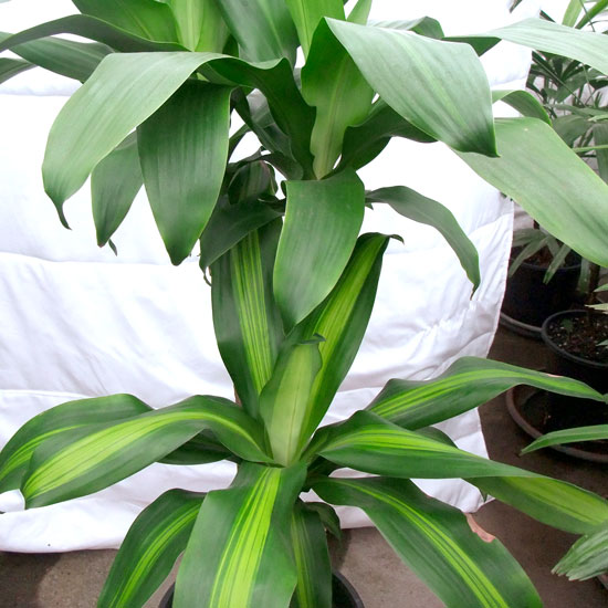 Dracena – Happy Plant- Office Plants Melbourne